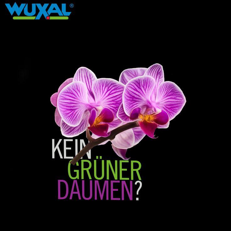 """Kein grüner Daumen?  Eine weitere eher """"genügsamere"""" Pflanze ist die Phalaenopsis-Orchidee. Sie zählt zu den beliebtesten Zimmerpflanzen und blüht in ganz verschiedenen Farben und Mustern. Um sie zu gießen, reicht alle 7 bis 14 Tage ein kurzes Tauchbad. Den Topf in lauwarmes Wasser stellen (befindet sich die Orchidee im Wachstum, Orchideendünger hinzugeben), sodass er sich vollsaugen kann."""