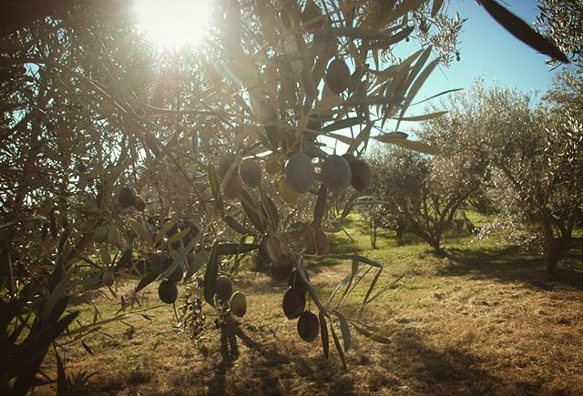 Our land, our olive trees, our sunny days!  Virgilliant Extra Virgin Olive Oil! Pure as Nature demands!