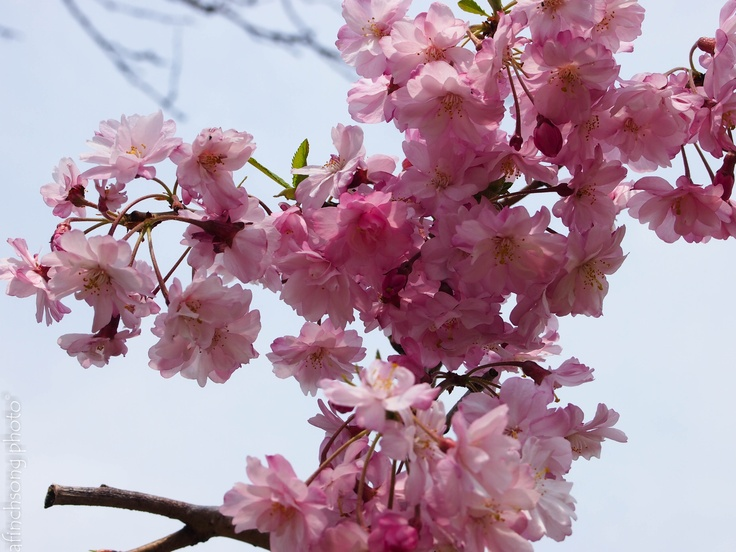 Prunus subhirtella 'Pendula Plena Rosea' WEEPING DOUBLE PINK FLOWERING CHERRYdeciduous flowering treefull sunMature size: 15-20'HWWeepingSPRING: Double pink flowersFOLIAGE: Dark greenArches to the groundFALL COLOR:  YellowYae shidarePrune any upright sprouts & suckersMoist well drained soil weeping Higan cherry