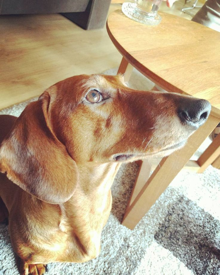 Teckel #teckel #hond #dog