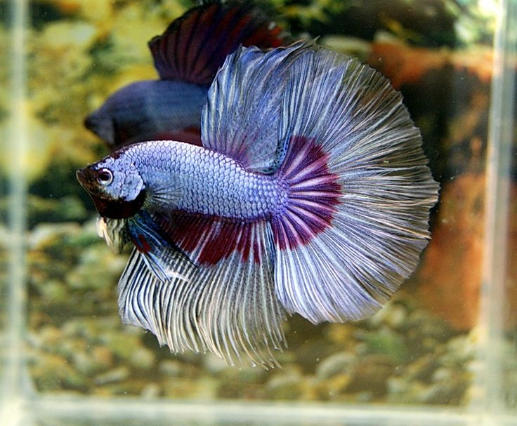 266 best images about betta fish on pinterest copper for Rare betta fish