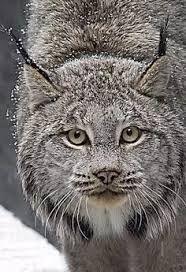 Canada lynx #BigCatFamily