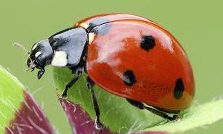A-seven-spot-ladybird-Coc-001.jpg (460×276)