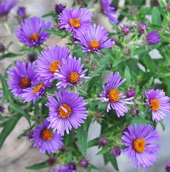 Flowers Seeds New England Aster Pollinator U S Native Types Of Purple Flowers Flower Seeds Purple Flowers