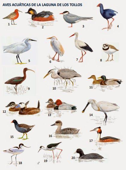 Blog del IES Laguna de Tollón: Concurso de identificación de aves acuáticas de la...