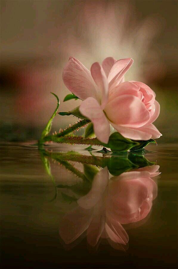 Esta rosa es para ti maria de jesus rodriguez.descansa en paz ..que seas muy feliz mi angelita chula mientras respire nunca te olvidare te amo mucho.