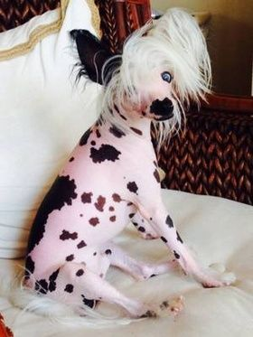 Blue eyed Chinese Crested                                                                                                                                                      More