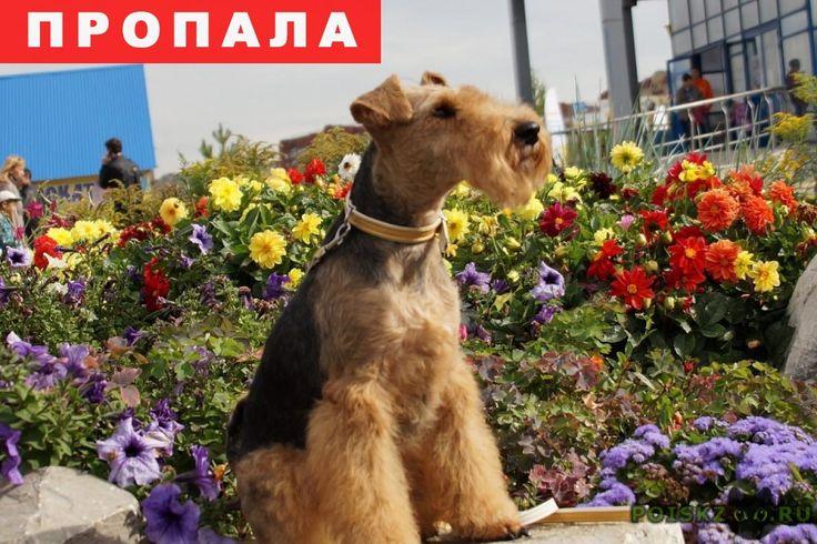 Пропала собака г.Уфа http://poiskzoo.ru/board/read31302.html  POISKZOO.RU/31302 Сегодня в Затоне ( в районе п. Камышлинка) пропала собака моей коллеги породы вельштерьер, сука. Откликается на кличку Буся. Имеется клеймо. ...  РЕПОСТ! @POISKZOO2 #POISKZOO.RU #Пропала #собака #Пропала_собака #ПропалаСобака #Уфа