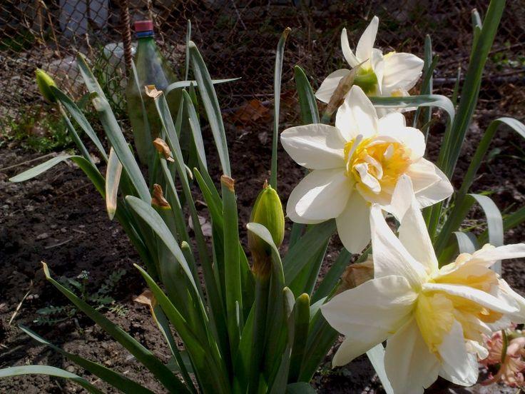 Narcissus, Dagestan, Spring
