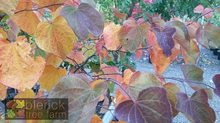 Cercis canadensis – Forest Pansy – Purchase Bare Rooted Trees Online