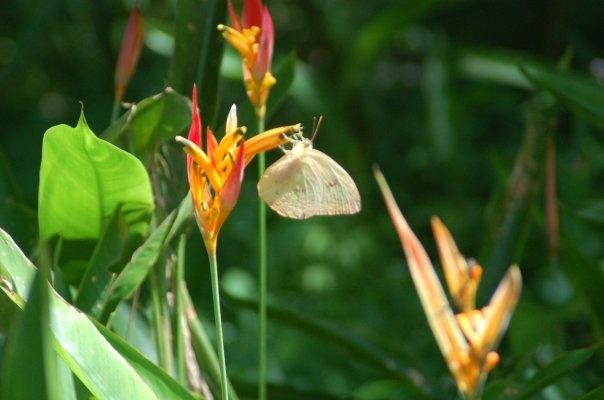 Mariposa Technicolor, 2009, Parque Cachamay, Puerto Ordaz Venezuela.  Me encanta esta foto !!!