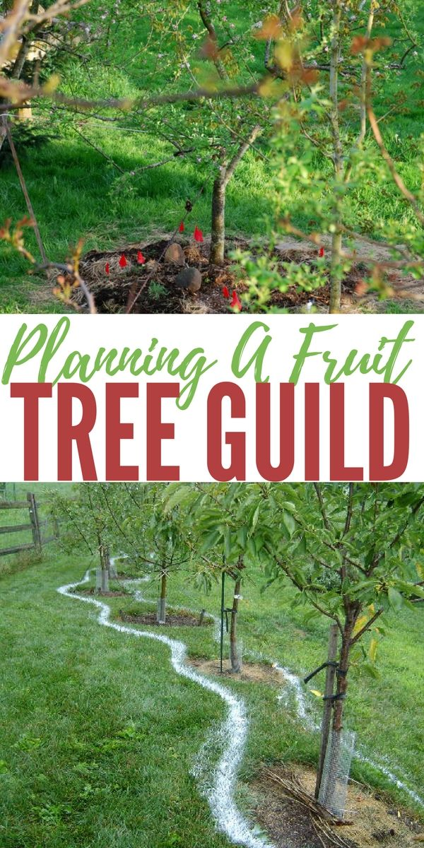 Planning a Fruit Tree Guild - Gardens are fun and exciting. They grow lots of food if you know what you are doing.