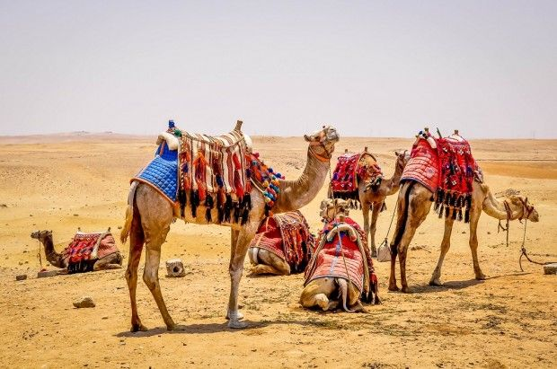 Group Of Camels 119