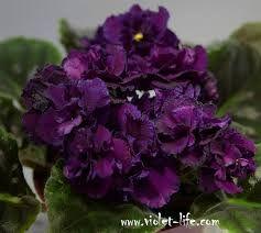Людовик (Каткин) - взяла на обмен листом 27.01.15, видела раньше розетку живьем - цветы крупные, махровые, очень темные - до черного. Розетка компактная