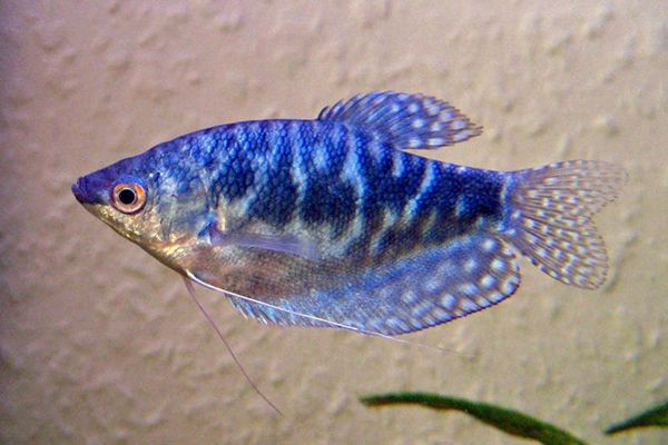 The Trichogaster Trichopterus Fish Is A Tropical Ornamental Fish Originating In Xishuangbanna Its Biggest Feature Is That Its Ventral Fins Have Been Degraded