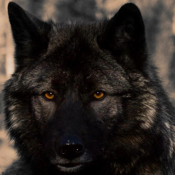 Angry black wolf red eyes - photo#5