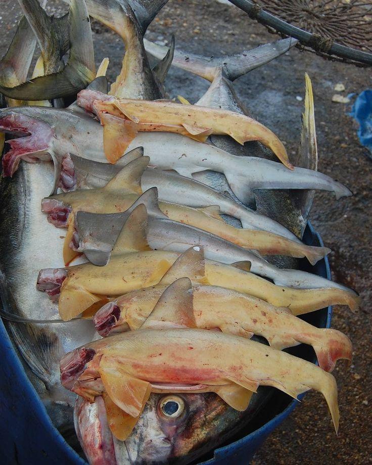 """En toda la costa Venezolana se pesca. Desde la Guajira hasta Macuro la pesca es un elemento fundamental en para el sustento y alimentación de los pobladores.  En todas las comunidades costeras los pescadores nos dicen lo mismo algo así como """"es que ya no se consigue pescado como antes"""". Y sí eso es un hecho. Ya no es tan común encontrar peces en las cantidades de años atrás. Además esos peces de grandes tallas ya no se ven con tanta frecuencia. Una de las principales causas de esto es la…"""
