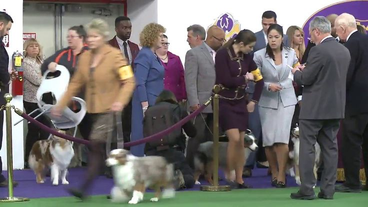 Miniature American Shepherd Dog Show 2016 WKC Westminster Kennel Club