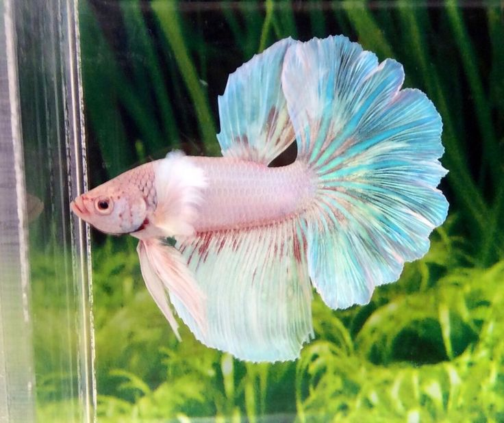 EH81 Thai Import Pink Pastel Dumbo Ears Over Halfmoon OHM Male Betta Live Fish