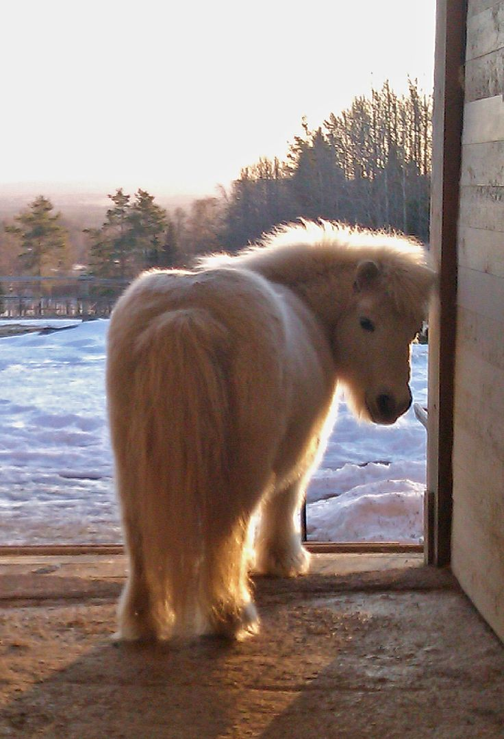 Pinner says: Our mascot, 27 year old shetland pony who walks around the yard and just charms everybody!