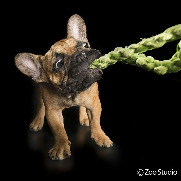 Finn The Frenchie French Bulldog Puppy Never Give Up Zoo