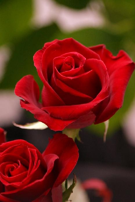 15 best our roses fresh cut images on pinterest floral