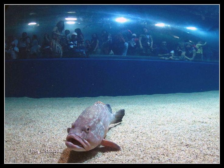 Mero y visitantes contra el cristal – Oceanografic, Aquarium de Valencia