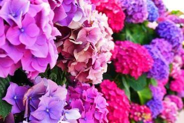 Per coltivare e curare le ortensie, è possibile farlo sia in vaso che in giardino. Si tratta infatti, di esemplari bellissimi e particolari, e sempre più utilizzati a scopo ornamentale. Per coltivare l'ortensia bisogna però rispettare alcune regole fondamentali del giardinaggio, per cui in questa guida, ci sono una serie di consigli utili su come curare le ortensie.