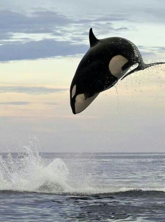 Look out, he's behind you! Eight-ton orca leaps 15ft into the air to finally…