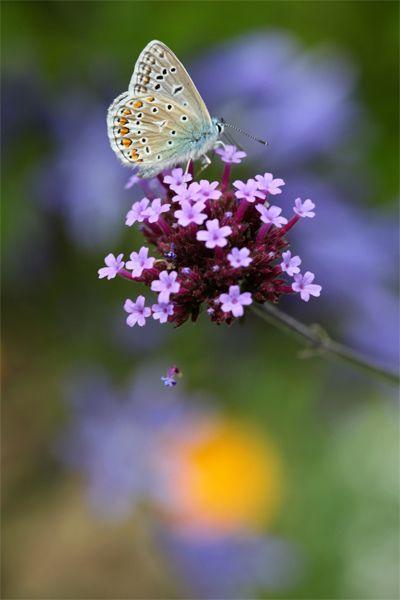 Butterfly on Verbena Flowers