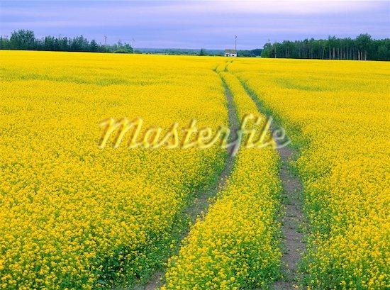 Canola field near Peace River,Alberta , Canada