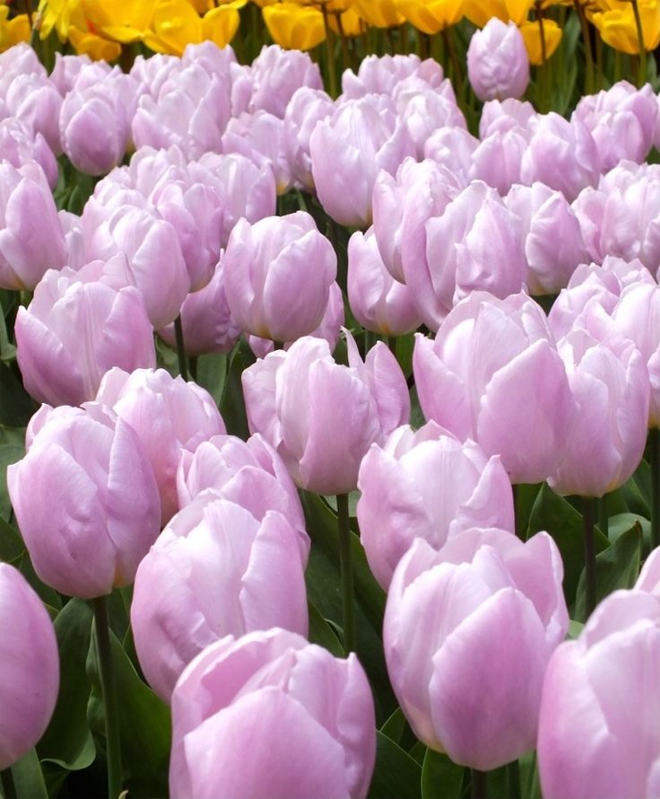 Tulip Candy Prince - Single Early Tulips - Tulips - Flower Bulb Index