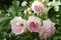 Rosa `Ritausma´Rugosaros