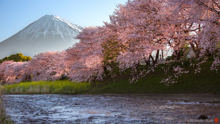 Spring Sunny day - Cherry blossom day in full bloom.  Mount Fuji・canola flower・Cherry Blossoms・Sunrise ・beautiful river. Everything is a perfect day.