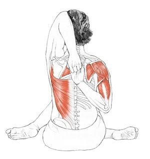 Cow-Faced Pose:  If the scapulae don't mobilize, there can be too much movement in the gleno-humeral joint . . . upward and downward rotation of scapula needs to precede adduction to avoid overmobilizing in the shoulder joint.    If the hips joints are not sufficiently mobile, excessive torque can result in the knee joints. Great care should be taken to avoid any strain in the knees, as the menisci are most vulnerable when the knee joint is semi-flexed.