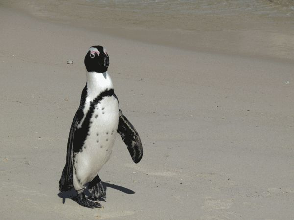 African Penguin Facts for kids www.africanpenguin.co.za/penguinfacts.html