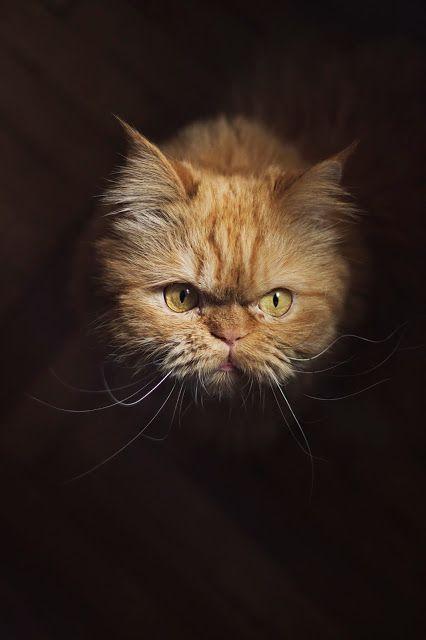 CannonCat - Karolina Falkiewicz art persian cat