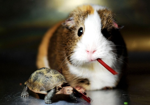 Perfect combination! A guinea pig and a turtle :)