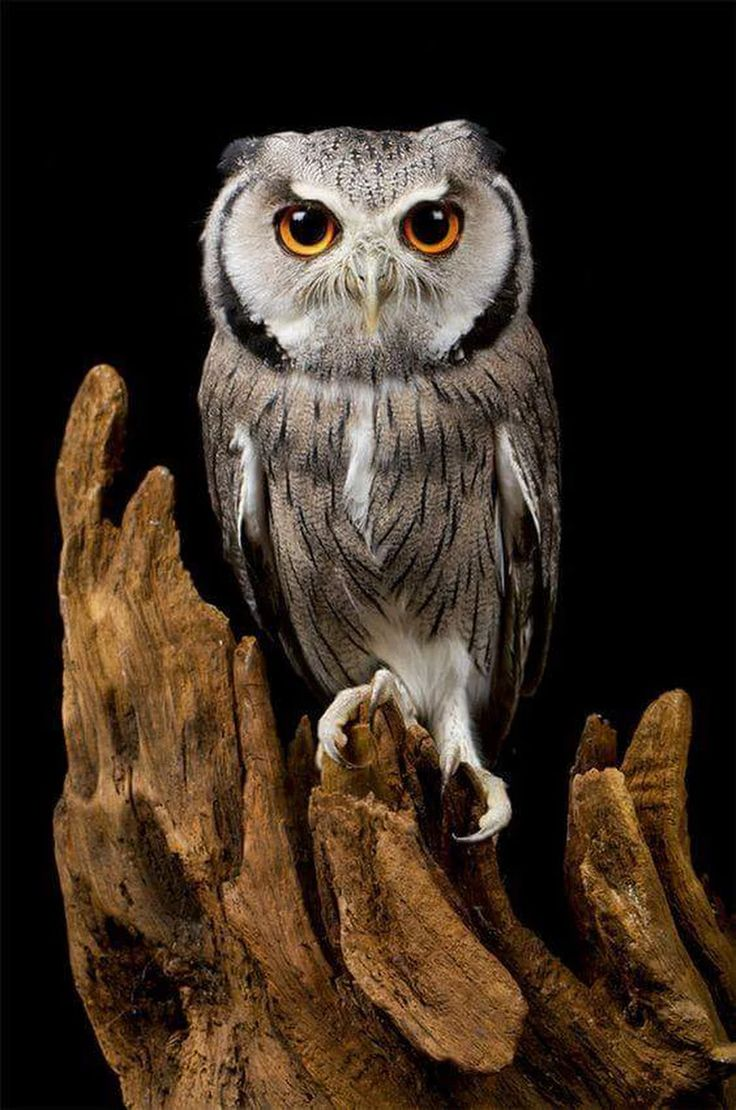 Owl 57 33 best My culture, th...