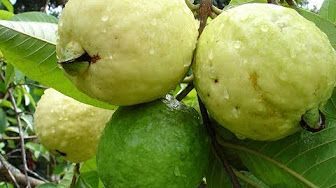 How to make cuttings of guava plant in the most perfect way. - YouTube
