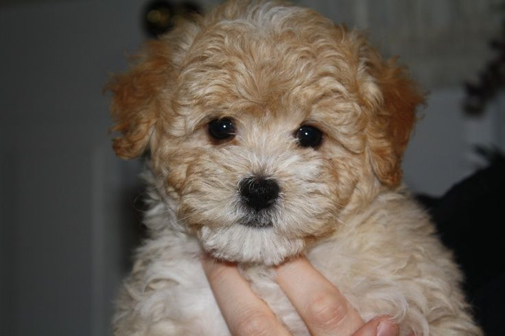 9 Interesting Facts about Maltipoos Maltipoo, Dog love, Dogs