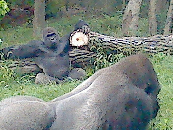 55 best omaha zoo gorillas images on pinterest omaha zoo zoos the zoo publicscrutiny Image collections