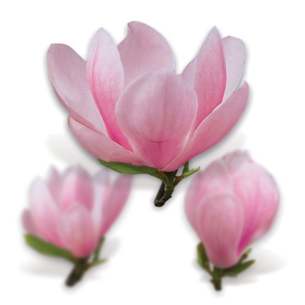Magnolia - Magnolia 'Soulangeana'