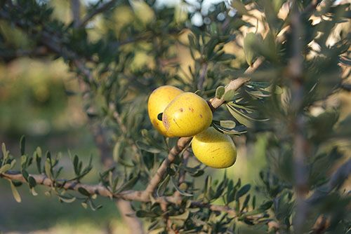 Arganier fruits