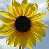 Sunflower (Helianthus annuus): Post, Sunflowers, Helianthus Annuus, Yellow