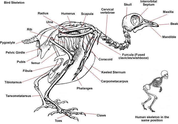 crows skeletons and anatomy on pinterest : bird skeleton diagram - findchart.co