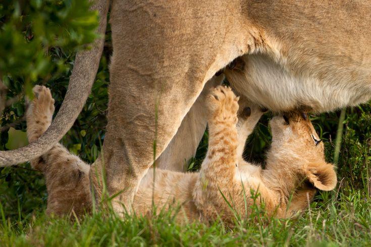cub breakfast..