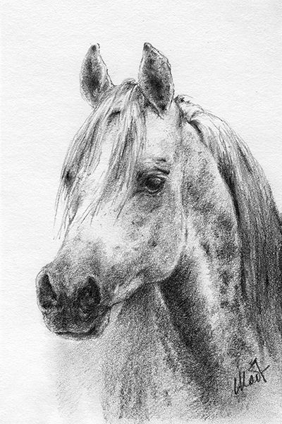 "A sketch a day: Arabian horse head ~ graphite pencil on drawing paper, 4"" x 6"""