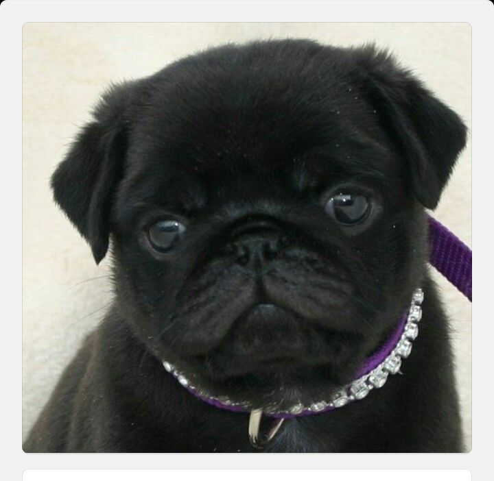 Down Syndrome Dog Puppy With Images Pug Puppies Cute Pugs
