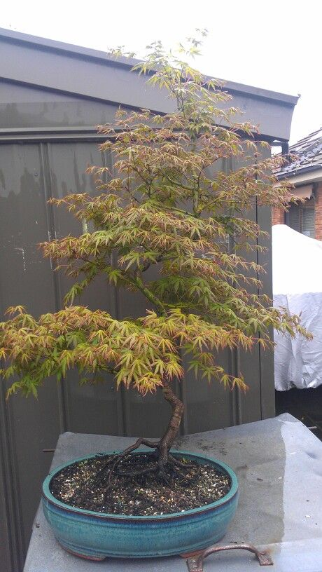 Spring growth jap maple